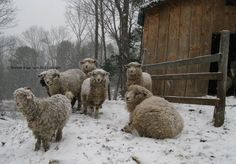 Our beautiful Romney & Corriedale sheep and Angora goats on a winter day.Winter Scenes.   Series#1. 6 cards w/envelopes $16.00