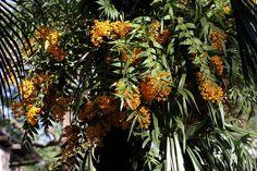 Dendrobium fimbriatum oculatum-1