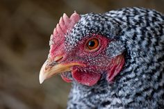 Plymouth Barred Rocks... why I won't raise them for meat again | www.pickytoplenty.com
