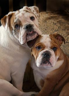❤ Family Love ❤ Posted from I love English Bulldogs