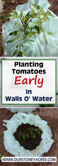 Planting out early tomatoes in Walls O' Water makes a huge difference in our short season garden!  Check out this post to learn how to have your earliest crop of tomatoes ever!