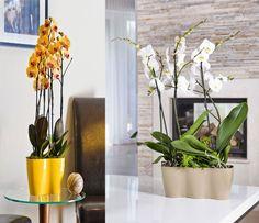 Rengetegszer felmerül a kérdés, hogy az orchideát tényleg csak átlátszó műanyag cserépben nevelhetjük? A válasz nem! Az orchideát bátran beletehetjük cserépbe, kaspóba, amelyek természetesen színesek is lehetnek. Had meséljek nektek valamit a két típusú cserépről, amelyekben az orchideát nevelik. Az orchidea Phalaenopsis-t nem csak műanyag cserébe ültetheted. Nincs szükség átlátszó[...] Glass Vase, Home Decor, Plant, Decoration Home, Room Decor, Home Interior Design, Home Decoration, Interior Design