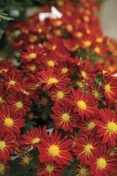 Instructions on when and how to split mums Single-petaled mums look like brightly colored daisies.