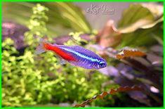 Ikan Neon menjadi pilihan karena memiliki banyak keunggulan. - Dunia Fauna , Hewan , Binatang & Tumbuhan Neon Tetra, Aquascaping, Fish, Pets, Neon, Pisces, Animals And Pets