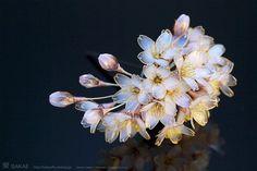 2012 桜 簪「花霞」Cherry Blossom kanzashi ❤ 榮 - sakae - 簪作家