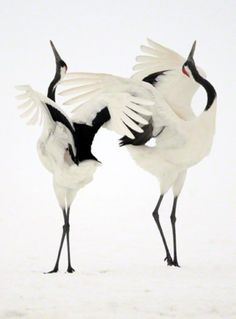 Red-Crowned Cranes, also called Japanese Cranes. A symbol of fidelity, as they mate for life.