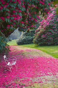 TREGOTHNAN, CORNWALL: WHITE BENCH BENEATH RHODODENDRON 'RUSSELLIANUM'