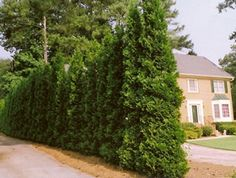 Full Speed A Hedge American Pillar Arborvitae - Thuja occidentalis - Pot Arborvitae Landscaping, Arborvitae Tree, Landscaping Along Fence, Landscaping Plants, Landscaping Ideas, House Plant Delivery, House Plants For Sale, Fast Growing Evergreens, Evergreen Shrubs