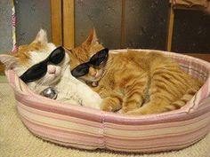 Cool Cats! see more at http://blog.blackboxs.ru/category/funny-cats/