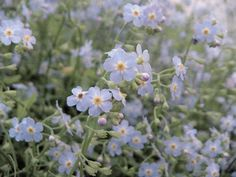 all through May the forget me nots were beautiful and still blooming for June