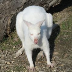 albino kangaroo ~
