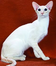 The Colorpoint Shorthair cat is a breed that has been recognized as an independent breed only by the Cat Fanciers' Association. The other cat registries have American Curl, Colorpoint Shorthair, All Cat Breeds, Seal Point Siamese, Giant Cat, Kitten Names, American Shorthair, Cat Sketch, Beautiful Cats