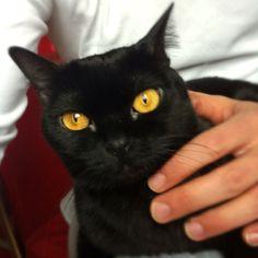 Bombay cat Salem