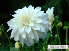 Quality dahlias grown in Washington State. We sell single dahlia tubers and dahlia bulbs that are true to name, guaranteed to grow and are free from viruses and diseases. Planting Dahlias, Growing Dahlias, Dahlia Wedding Bouquets, Floral Wedding, Seasonal Flowers, Fall Flowers, Cut Flowers, Big Garden, Garden Plants
