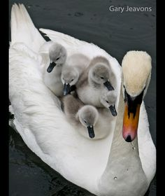 Mother swan with babies ...........click here to find out more http://googydog.com