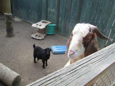 An ole goat.