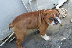 #englishbulldog #bulldog #beautifulbulldog #dogs #puppy #englishbulldogpuppy #banjoe Bulldog in the shower