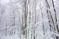 Snowy Trees - Some trees covered in snow in Haliburton, Ontario.