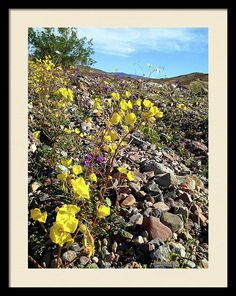 Death Valley Framed Print featuring the photograph Death Valley Bloom No.4 by Michele Ross