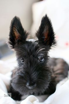 "Scottie puppy~""Don't worry, I'll grow into them."""