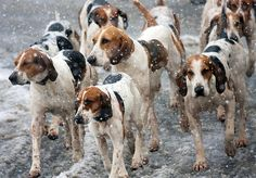 """""""I don't care if we're English Foxhounds and it's in our blood to chase the bloody fox until we drop, I'm cold, wet and tired. I could use a warm bath, my bed, some kibble and a roaring fire and Irma, Ruby, Toby and Harry agree, so, I say we just circle back around to the house barking our heads off as if our prey went that way. Anyone else with us? """" Queried a determined Flora."""