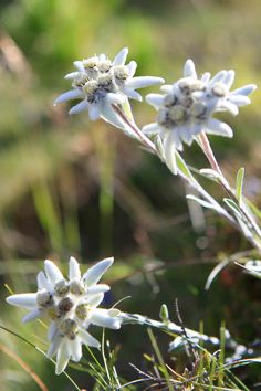 Val Gardena Gröden Tyrol    Edelweis, have seen these flowers growing in the fields at 28oometers....