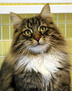 4/25/16 Gaithersburg, MD - Maine Coon. Meet Wolfie, a cat for adoption. http://www.adoptapet.com/pet/15381615-gaithersburg-maryland-cat