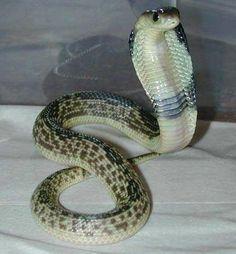 Naja sputatrix Javan spitting cobra