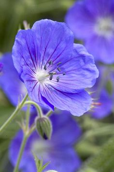 Geranium Eureka Blue ~ New introduction, known as 'Johnson's Blue on steroids' as it produces even more flowers than the well known favourite. In summer, large single flowers of deep blue smother vigorous mounds of foliage that turns red in autumn Different Flowers, Love Flowers, Purple Flowers, Beautiful Flowers, Single Flowers, Perennial Geranium, Hardy Geranium, Geranium Vivace, Cactus Plante