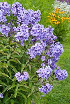 Phlox paniculata 'Blue Evening' incredibly fragrant scented flowers