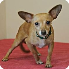Salem, MA - Chihuahua Mix. Meet Chichi a Dog for Adoption.
