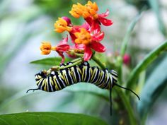 Monarch larvae can ingest the OE parasite by eating infected milkweed plants, crippling them as adults. Do not plant tropical milkweed. Plant Asclepias tuberosa, or butterfly weed, and asclepias syriaca and s. incarnate, swamp and common milkweeds, which are native to the U.S.