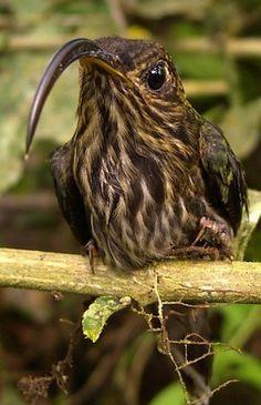 White-tipped Sicklebill Hummingbird, Costa Rica