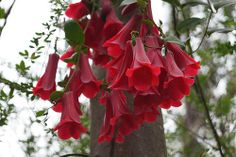 Portal Cool X 6 graines chilien campanule Copihue Lapageria Rosea Exotic Flowers, Red Flowers, Beautiful Flowers, Mac Os, Climbing Vines, Parts Of A Plant, Unusual Plants, Flowering Vines, Shade Plants