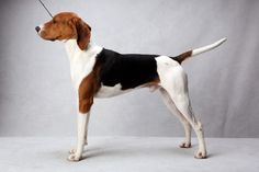 Frog the Treeing Walker Coonhound Frog, registered as Stackem Up My Way Or Highway, is owned by Tricia L. Snedegar. (Fred R. Conrad, a New York Times photographer, set up a studio at the 2013 Westminster Kennel Club dog show and invited Best of Breed winners to pose.)