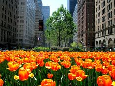 Tulips on Park Avenue ♦ There is no such thing as too many tulips in Spring. This photo was taken at the meridian between the uptown and downtown traffic on Park Avenue and 59th Street.