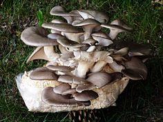 Hlíva ústřičná - recepty Stuffed Mushrooms, Vegetables, Food, Mushroom, Stuff Mushrooms, Essen, Vegetable Recipes, Meals, Yemek
