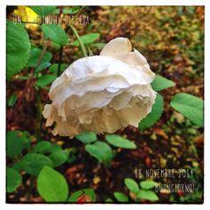 in diretta dal giardino: rosa Winchester Cathedral Buongiorno giardinieri! #giardino #giardinoindiretta #autunno #rose
