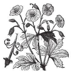 Spotted Geranium Or Geranium Maculatum Or Wood Geranium Or Wild.. Royalty Free Cliparts, Vectors, And Stock Illustration. Image 13771578.