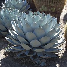 Agave parryi sp. huachucensis - Aloë Huachucha (30-40cm -... https://www.amazon.de/dp/B01KA37GVM/ref=cm_sw_r_pi_dp_x_96wXybWWRTN78