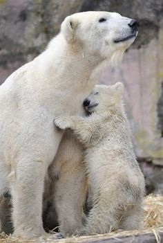 Mama and baby Polar Bear Hugs