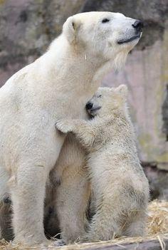 Mama and baby Polar Bear Hugs