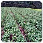 Organic Medium Red Clover