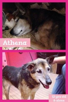 Athena! 12 yrs old!! please help! located at Hempstead Town Shelter in Wantagh, NY call: 516-785-5220! Shelter reaches out for help for blind senior dog who was surrendered by owner!!
