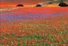 Definitely not what I think of when I think of deserts! This is Namaqualand in South Africa, which is a semi-desert area. but in the spring, gorgeous, vividly colorful flowers spring to life! Beautiful World, Beautiful Places, Le Cap, Out Of Africa, Belleza Natural, Wild Flowers, Colorful Flowers, Exotic Flowers, Fresh Flowers