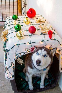 Happy Husky Christmas!