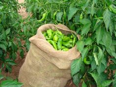 Hatch green chile-The best part of living in New Mexico! Hatch New Mexico, Hatch Chili, Travel New Mexico, Pepper Seeds, New Mexican, Land Of Enchantment, Container Gardening, Stuffed Peppers, Green