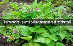 Așa cum o indică și numele, plămânărica este o plantă medicinală folosită în diferite părți ale lumii pentru bolile pulmonare.    Plămânărica (Pulmonaria officinalis) este un remediu bine cunoscut pentru afecțiunile căilor respiratorii.        Plămânărica - proprietăți    Conține saponizide, mucilagii,