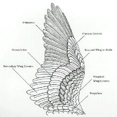 Bird wings, Birds and Anatomy