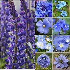 """Bulk Package of Seeds, Wildflower Mixture""""Dazzling Blue"""" Pure Seed - 9 Species) Seeds by Seed Needs Spring Flowers, Wild Flowers, Flax Flowers, Seed Packaging, Fast Growing Plants, Thing 1, Shade Perennials, Wildflower Seeds, Foliage Plants"""